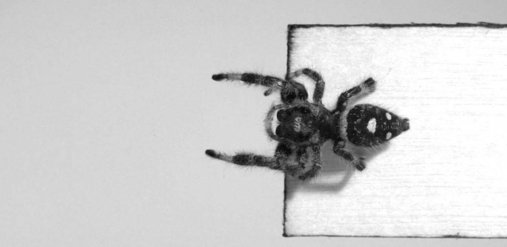 Kim - Spider